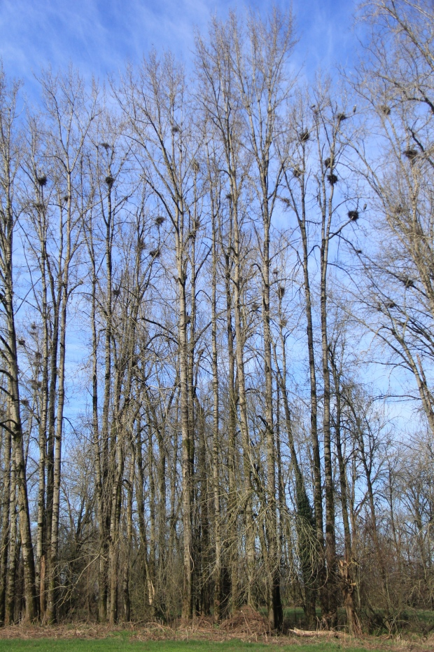 This is a relatively small Rookery.  A quick count was about 37 occupied nests.  Probably about 50 nests all together.