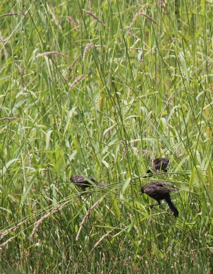 A few of young female red winged blackbirds.  Both pictures were taken the same day, at the same location.
