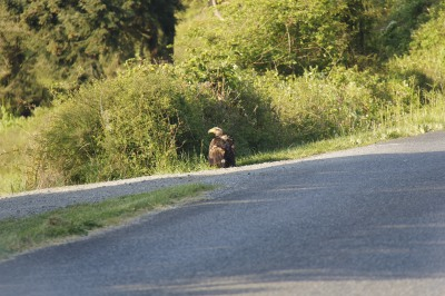Golden Eagle watching over its breakfast.